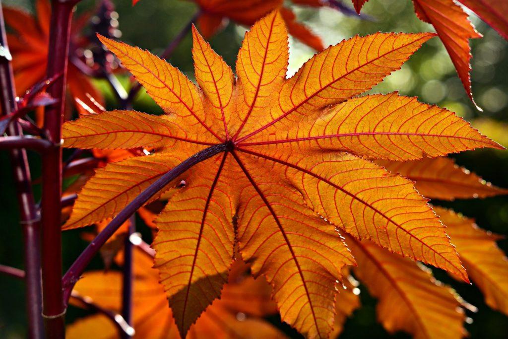 feuilles-huile-de-ricin