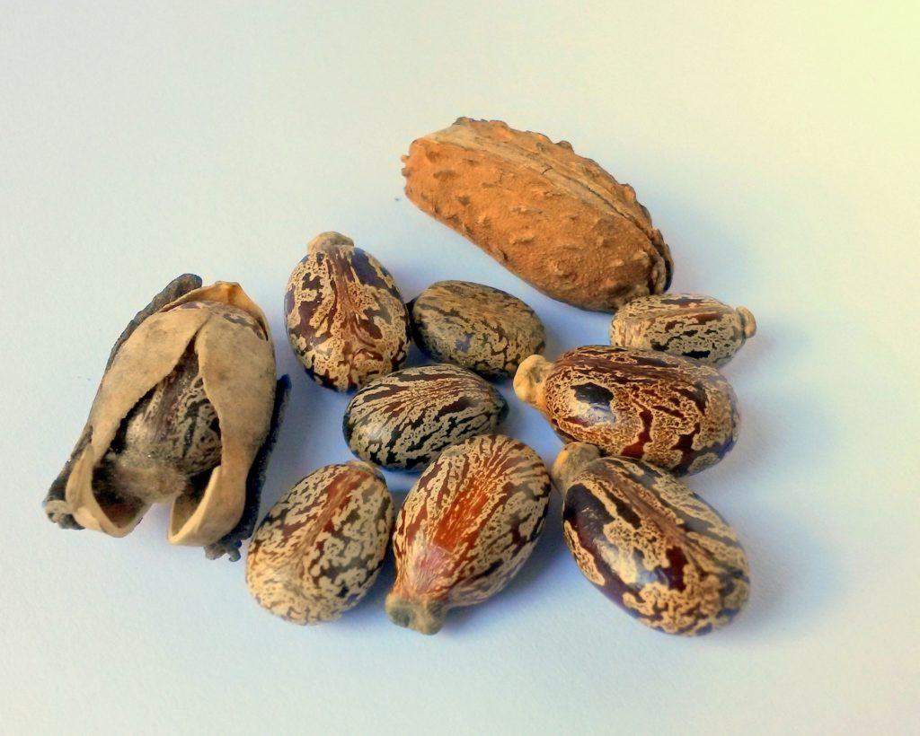 graines-huile-de-ricin